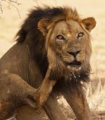 Old male lion with porcupine quills stuck in face in Kgalagadi Transfrontier Park poster