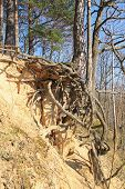 tree with revealed bizarre roots growing on eroded slope, Beskydy mountains, Czech Republic poster