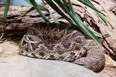 eastern diamondback rattlesnake (Crotalus adamanteus) rolled up poster