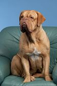 French Mastiff sitting on leather arm-chair poster