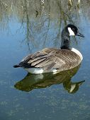 Canada Goose swimming on a quiet lake with a complete reflection in the water poster