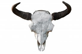Close-up Of A White Cow Skull With Horns On A White Isolated Background, Pitchfork On Top