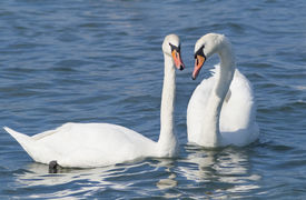 Couple of white swans.