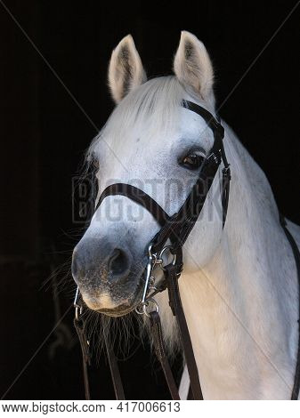 A Grey Welsh Section A Pony Headshot In A Double Bridle