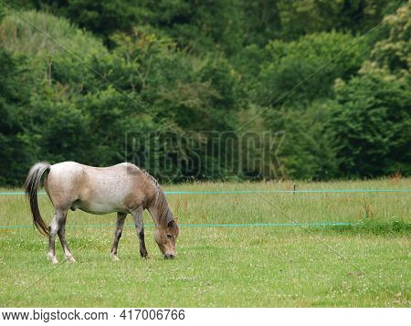 A Roan Pony Being Stripped Grazed With Electric Fencing.