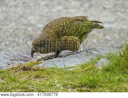 A Kea Bird In Natural Ambiance Seen In New Zealand