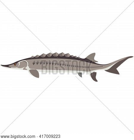 Vector Fish Adriatic Sturgeon Freshwater Species Illustration