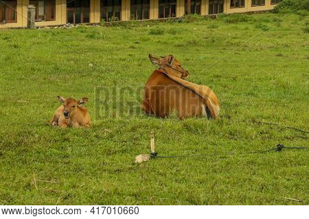 Calf Cow Lying Down On Green Grass Next To Her Brown Calf In Flores, Indonesia