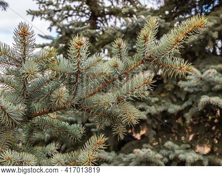 Ovaries Of Vernal Growing Cones On A Colorado Blue Spruce Branches. The Fir-needle At The Background