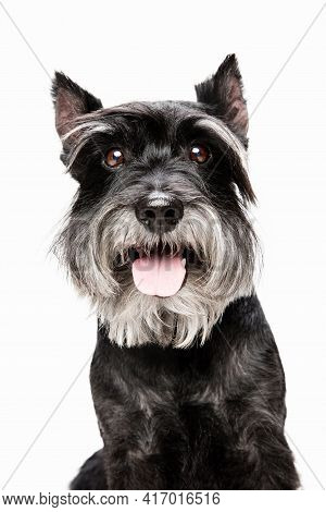 Cute Puppy Of Miniature Schnauzer Dog Posing Isolated Over White Background