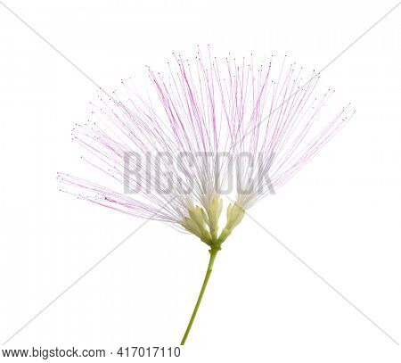 Flower of Persian Silk Tree with very long stamens of pale pink color isolated on white background. Selective focus.