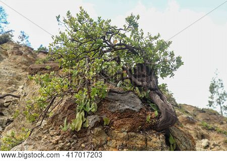 Dwarf Tree On A Rim Crater On Kelimutu Volcano. Kneeling Surviving In Inhospitable Conditions On The