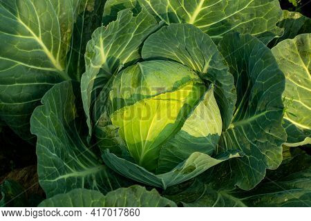 The Cabbage Is A Leafy Vegetable Of The Brassica Family, Which Also Includes Broccoli, Cauliflower I