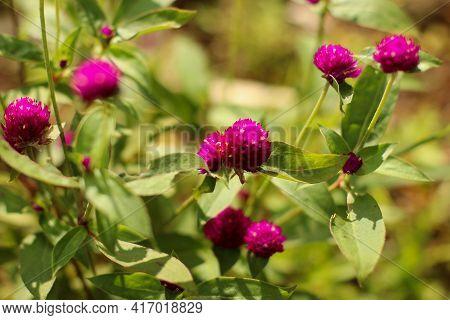 Pink Globe Amaranth. Selective Focus Of Gomphrena Globosa. Defocused Abstract Background Of Gomphren