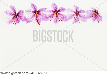 Saffron Crocus Flower On White Background. Copyspace. Place For Your Text. Saffron Flowers Are Laid