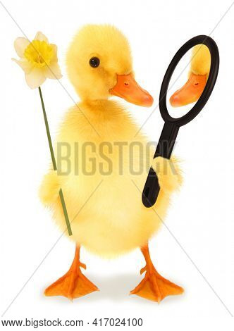 Cute egoistic duckling narcissistic duck with narcissus flower and mirror funny conceptual image