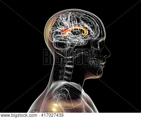 Corpus Callosum, Also Known As Callosal Commissure, Highlighted In Human Brain, 3d Illustration. It