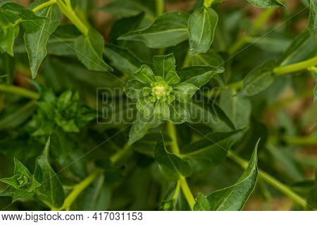 Green Petals, Milk Thistle Is A Plant Named For The White Veins On Its Large Prickly Leaves. One Of