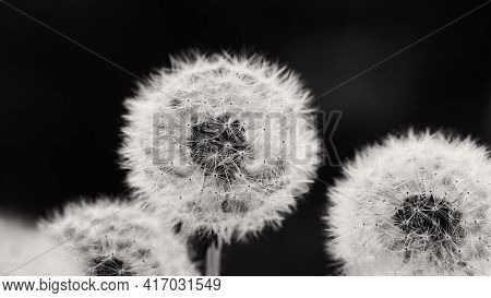 Dandelion At Sunset . Freedom To Wish. Dandelion Silhouette Fluffy Flower On Sunset Sky. Seed Macro