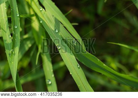 A Remarkable Background Of Morning Dew On Thin Or Wild Or Forest Green Grass