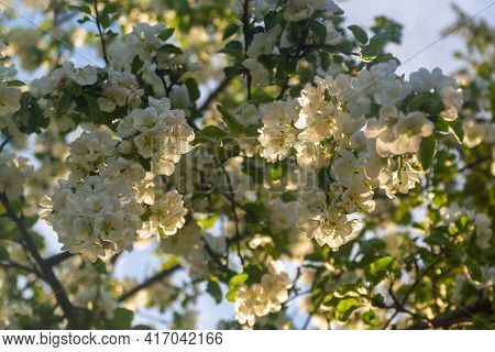 A Blooming Apple Tree In Spring Is Covered With White Flowers In The Warmth Of A Summer Evening.