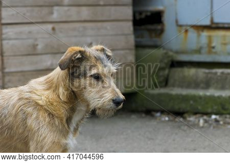 A Large Red-haired Dog Is Worth In The Yard. Portrait Of A Cute Red-haired Dog. Homeless Hungry Dog