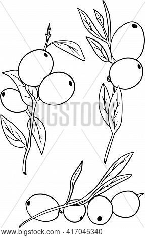 Sketch Hand Drawn Olives Set. Olive Fruits Bunch And Olive Branches With Leaves. Vector Illustration