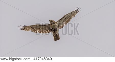 Juvenile Red Tailed Hawk Soaring High Above You With Wings Spread Wide On A Windy Day In Spring