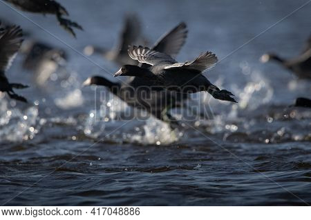 American Coot On Reelfoot Lake In Tennessee During Their Annual Migration