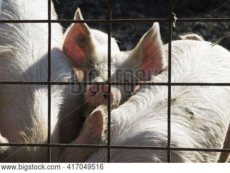 Pig Breeding In Livestock Farming, Farm Animal Breeding In Agriculture