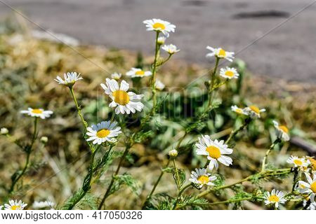 Wild Flowers With White Petals And Yellow Disc Florets Of The Scented Mayweed On Blurred Field Road