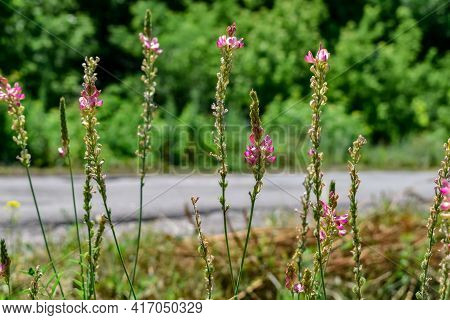Wild Legume Forage Onobrychis Viciifolia Plant With Flowering Spikelets On Blurred Background Of Fie