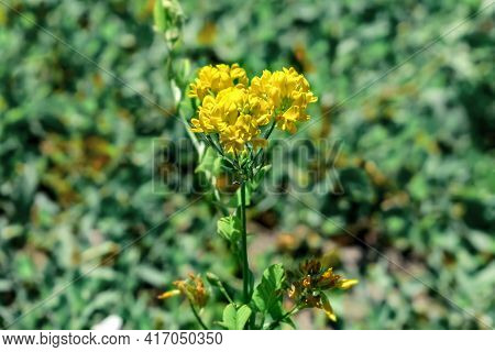 Inflorescence Of Yellow Blooming Lotus Corniculatus Flowers, Closeup, Isolated On Blurred Green Gras