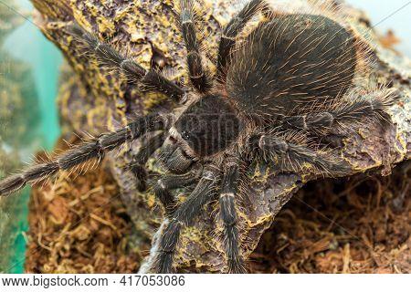 Closeup Big Spider Tarantula (lasiodora Parahybana) Often Kept As A Pet.