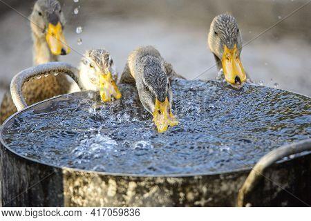 Closeup of ducks feeding at water can in Muang La Laos
