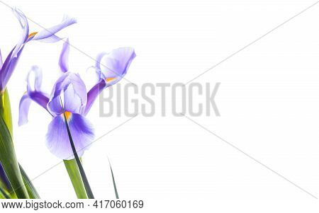 Invitation Card Template With Tender Japanese Irises And Copy Space Area. Decorative Flowers Isolate
