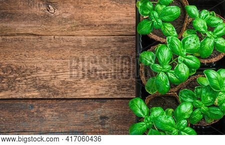 Growing Basil On A Brown Wooden Background. Top View With Copy Space.