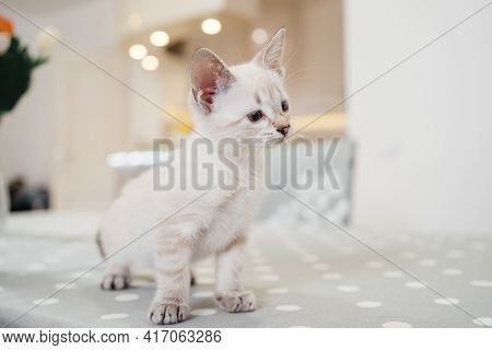 A Little White Kitten Looks Curiously Ahead