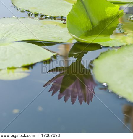 Reflection Of Pink Water Lily Or Lotus Flower, Nelumbo Nucifera In The Water.