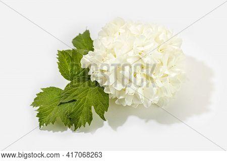 Chinese Snowball Viburnum Flower Isolated On White Background. Viburnum Opulus L.
