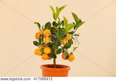 Tangerine Tree . Mandarin Tree In A Pot Isolated On Beige. Citrus Fruit Dwarf Trees. Citrus Fruit.in