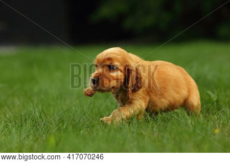 Amazing, Newborn And Cute Red English Cocker Spaniel Puppy Detail. Red