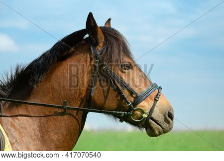 Horse With Its Black Snaffle Bridle Is Outdoors, Close-up Portrait. Trotter Is Standing On The Beaut