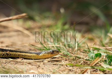 A Photo Of A Young Eastern Garter Snake In Early Spring In Canada