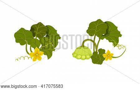 Pattypan Squash Or Summer Squash With Scalloped Edges And Green Leaves Vector Set