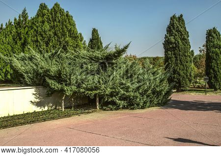 View Of The Intersection Of Alleys With Beautiful Cypresses And Spreading Coniferous Trees In The Bo