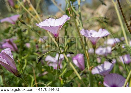 Close-up Of Pink-purple Wildflowers Called Bluebells, Convolvulus Althaeoides, On A Spring Morning O