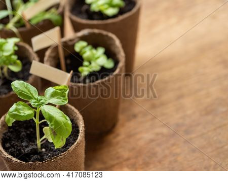Basil Seedlings In Biodegradable Pots On Wooden Table. Green Plants In Peat Pots. Copy Space.