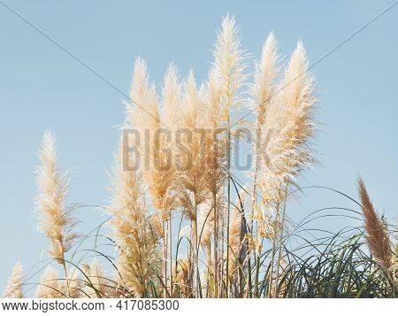 Pampas Grass Or Cortaderia Selloana. Thick And Fluffy Plant On Clear Blue Sky Background.