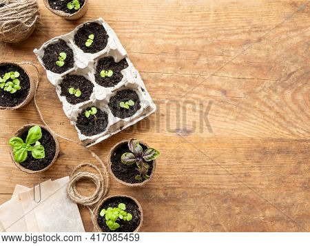 Basil Seedlings In Biodegradable Pots On Wooden Table. Top View On Green Plants In Peat Pots And See